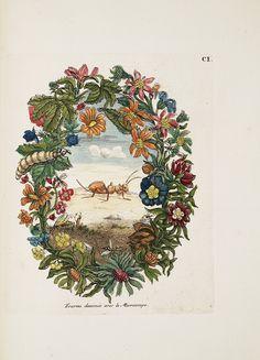 """Maria Sibylla Merian  """"Raupen wunderbare Verwandelung und sonderbare Blumennahrung"""", 1730"""