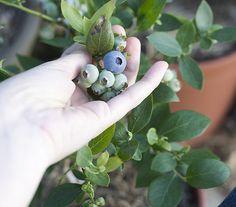 Biloxi Blueberry Plant