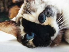 Beautiful blue eyed two toned cat !
