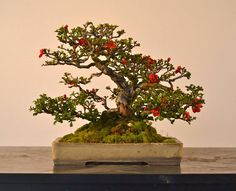Old rascal, a Chojubai dwarf flowering quince, in an antique Chinese pot. Photo…
