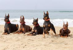 Pepper the dobie and her Crazy Rebels friends at Huntington Dog Beach
