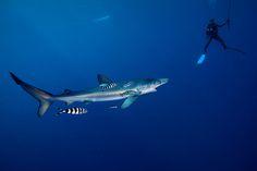Blue Shark - Azores (by James R.D. Scott)