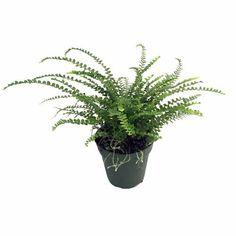 "Lemon Button Fern - 4"""" Pot - Nephrolepis cordifolia Duffii"