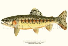 'Golden Trout' antique giclee print via Charting Nature http://www.chartingnature.com/antique-fish-prints.cfm/Golden-Trout-fish-illustration-print/7075