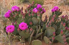 Prickly Pear Cactus, in bloom, Valley of Fire State Park, Nevada, USA - Stock Photo - Dissolve Valley Of Fire State Park, Prickly Pear Cactus, Royalty Free Images, State Parks, Backdrops, Bloom, Herbs, Stock Photos, Nevada Usa