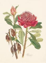 botanical drawing waratah - Google Search