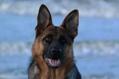 #Marly  #GSD