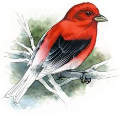 Scarlet Tanager  bird art wildlife art  nature by RobManciniImages, $15.00