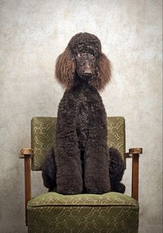 Dog Training Methods, Dog Training Techniques, Best Dog Training, Poodle Cuts, Puppy Obedience Training, Portrait Studio, Positive Dog Training, Easiest Dogs To Train, Tier Fotos