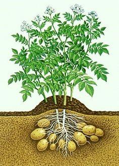 """Instead of buying ornamental sweet potato vines for flower pots, I put sweet… When To Plant Potatoes, Planting Potatoes, Grow Potatoes, Baby Potatoes, Vegetable Garden, Garden Plants, Bokashi, Potato Vines, Edible Garden"