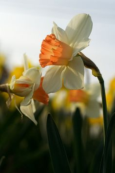 Daffodil, Iwate, Japan    Daffodils.....my nana's favorite flower...