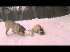 A New Take On Dog Sledding   The Animal Rescue Site Blog