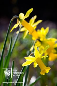 Royal Horticultural Society - RHS - Flower - Narcissus 'Peeping Tom'
