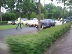 Beeld 6, een groep schapen loopt over de weg, leuk nieuw vervoersmiddel?