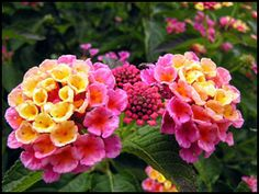 Lantana is so easy to grow and attracts butterflies. I've seen it grow into the size of a medium-sized bush. Just lovely! Loves sun, can tolerate drought, but with good watering grows large. ohhhh i wanna find Lantana like this! Flower Beds, My Flower, Outdoor Plants, Outdoor Gardens, Deco Floral, Large Plants, Full Sun Plants, Sun Loving Plants, Cactus Y Suculentas