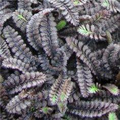 Kitűnő taposást tűrő talajtakaró évelő virág, mely a levelével is díszít. Cserépméret: 9*9 cm. Sziklakertbe, vagy gyeppótlónak ültethető alacsony növekedésű szőnyegszerűen terjedő, leveleivel díszítő évelő növény.