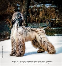 Via Facebook Rik McDowell. Such a regal Afghan hound! Look at that hair! Fabio would be jealous.