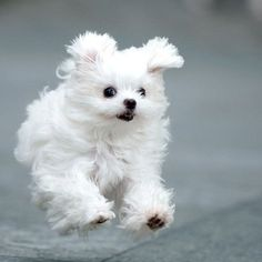 Maltese dogs make the worst type of pets. Baby Animals, Funny Animals, Cute Animals, Dog Pictures, Animal Pictures, Cute Puppies, Dogs And Puppies, Malteser, Maltese Dogs
