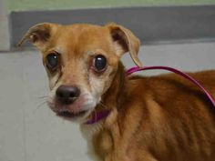 SUPER URGENT CHAUNCEY ++++  OWNER SURRENDER AT 17 YRS OLD  +++++ – A1039352 MALE, BROWN, CHIHUAHUA SH MIX, 17 yrs OWNER SUR – EVALUATE, NO HOLD Reason PERS PROB Intake condition UNSPECIFIE Intake Date 06/08/2015
