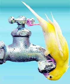 yellow parakeet drinking from faucet could do this with my old pump