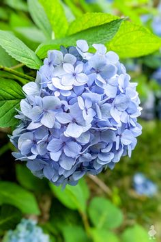 hydrangea garden care how to propagate hydrangeas through cuttings, bent branches, or the water method while still attached to the original plant Hydrangea Care, Blue Hydrangea, Hydrangea Plant, Blue Flowers, Propagating Hydrangeas, Plant Cuttings, Mother Plant, Garden Care, Dream Garden