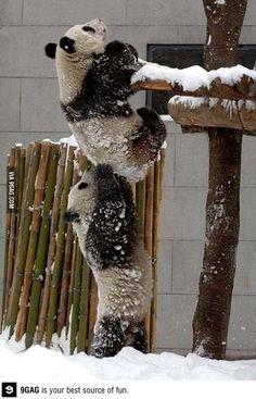 Panda helps Panda