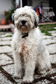 Bergamasco sheepdog by mfortini, via Flickr