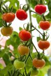 Organic tomatoes contain higher levels of antioxidants than conventional tomatoes, study suggests. Article from Science Daily, image dbj65 / Fotolia