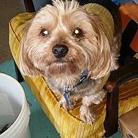 Huntington, Indiana - Yorkie, Yorkshire Terrier. Meet Mason, a for adoption. https://www.adoptapet.com/pet/20297674-huntington-indiana-yorkie-yorkshire-terrier-mix