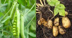 zmiešané pestovanie zeleniny a kvetov Hens, Salvia, Stuffed Mushrooms, Organic, Vegetables, Fruit, Garden, Plant, Culture