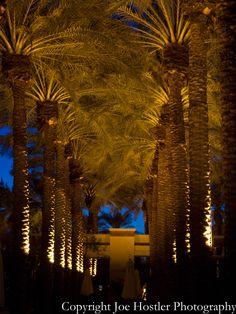 Palm trees at the Arizona Grand Resort.