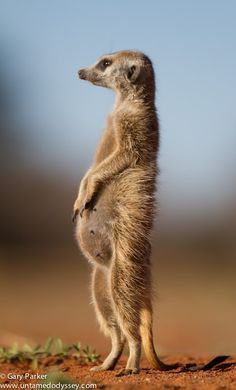 I'm expecting! - Alpha female meerkat who should be expecting in a week or so.