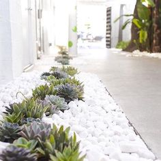 So simple and chic. We love the contrast between the white stones and these succulents that weave a wavy line bordering the walkway. . . . #GrowBeautifully #Succulents #Succulent #gardenlovers #gardeners #lovegardening #gardening #garden #gardenlifestyle #gardenlove #plants #plantvibes #Plantsofinstagram #GardenersofInstagram #instagardenlovers #SucculentsofInstagram #landscape #landscapedesign #succulentgarden #succulentlovers