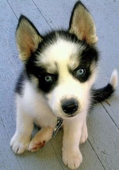 Teigan the siberian husky is ready to play now
