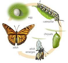 the life cycle of a butterfly - I just think this is so amazing.....