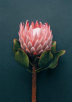 Pink King Protea Print - Cloud Nine Creative Protea Art, Flor Protea, Protea Flower, My Flower, Flower Art, Cactus Flower, Flower Images, Exotic Flowers, Beautiful Flowers