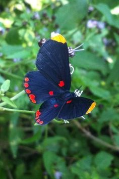 A Red-bordered Pixie (Melanis pixe), a butterfly in the Metalmark family (Riodinidae)