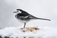 Pied Wagtail (Motacilla alba) in the Snow | by Steve Greaves