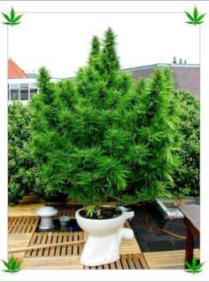 how to choose right marijuana