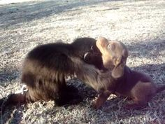 Cute video of a monkey playing with a wiener (dachshund) puppy!