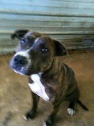 'BB' is an adoptable American Bulldog Dog in Chipley, FL. BB is a brindle female Bulldog/Lab mix that is 3-4 years old. She's calm, very sweet, loves for someone to talk to her and loves attention. ...