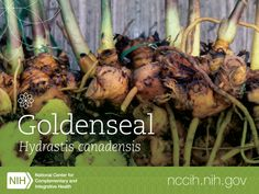 Goldenseal is a plant that grows wild in part of the U.S. but has become endangered by overharvesting. Folk or traditional uses of goldenseal include various health conditions, such as colds and other respiratory tract infections, infectious diarrhea, and eye infections. But what does the science say? Learn more: http://1.usa.gov/1IDcWE3