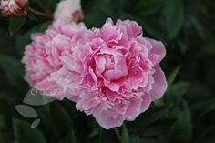 Buy paeony / peony Paeonia lactiflora 'Sarah Bernhardt': Delivery by Waitrose Garden in association with Crocus