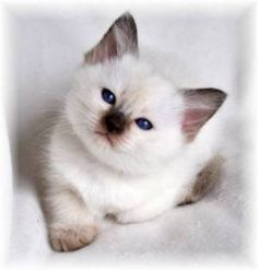 Siamese kittens are so precious - I wish I had more!
