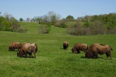 Bison in their enclosure at Battelle Darby Creek Metro Park. Photo by Tina Copeland