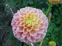French Doll - Old House Dahlias