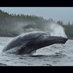 A humpback whale breaches in the North Pacific Ocean off Canada's Great Bear Rainforest. The exact reason why whales breach is uncertain but scientists believe that it probably has to do with dislodging parasites or communicating with other whales at great distances. #cetacealab @pacificwild @saveourseasfoundation by thomaspeschak