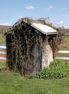 Vine engulfed outhouse...this is how all the outhouses that are left, back in Kaintuck, look like.