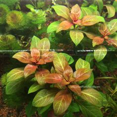Ludwigia repens 'Rubin' is a variety of Ludwigia repens with regular deep red leaves as the number one defining characteristic. 1 bunched of Ludwigia Rubin. Freshwater Aquarium Plants, Live Aquarium Plants, Saltwater Aquarium, Aquarium Fish Tank, Planted Aquarium, Freshwater Fish, Live Plants, Fish Tanks, Tetra Fish