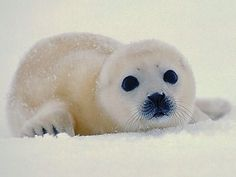 baby harp seal…Just look into those inoccent eyes – Baak Turn Animals Cute Wild Animals, Polar Animals, Water Animals, Animals Beautiful, Animals And Pets, Funny Animals, Harp Seal Pup, Baby Harp Seal, Baby Seal